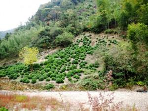 涌溪火青 茶畑