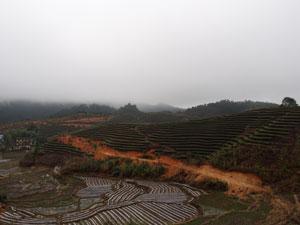 政和大白茶種の茶畑