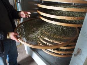 白茶 製茶場
