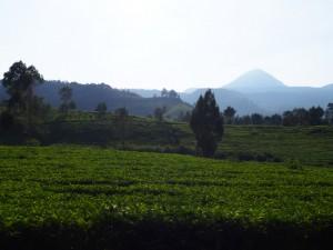 インドネシアの茶園にて