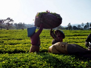 インドネシア茶園