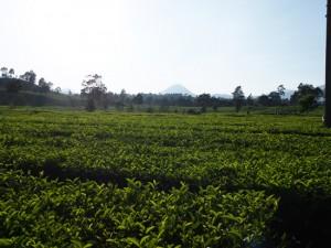 インドネシア国営第8農園