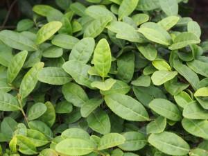 宜興紅茶 茶畑